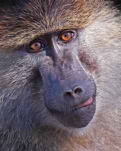 baboon portrait in Serengeti National Park, Tanzania