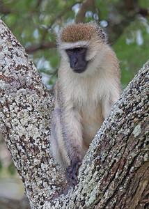 vervet monkey in Tarangire National Park, Tanzania