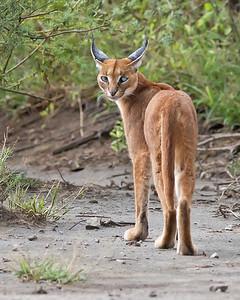 caracal, Ngorongoro Conservation Area, Ndutu, Tanzania