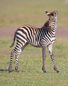 baby zebra in Ngorongoro Crater Conservation Area, Tanzania