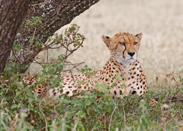 cheetah, Ngorongoro Conservation Area, Ndutu, Tanzania