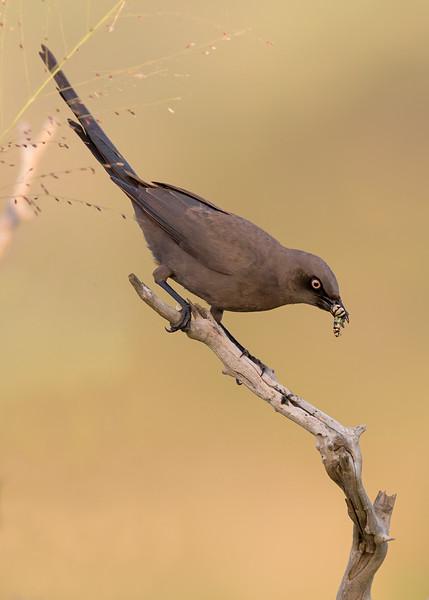 ashy starling in Tarangire National Park, Tanzania