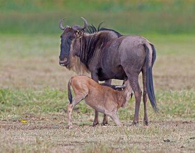 wildebeest nursing calf in Ngorongoro Crater Conservation Area, Tanzania