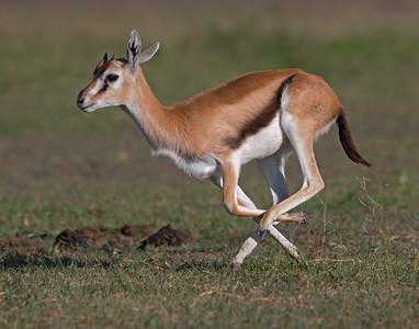 tompson's gazelle running in Ngorongoro Crater, Tanzania