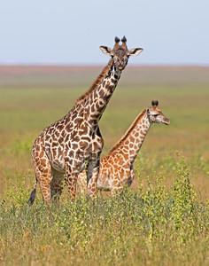 giraffe and baby in Serengeti National Park, Tanzania