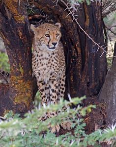 cheetah, Ngorongoro Conservation Area, Tanzania
