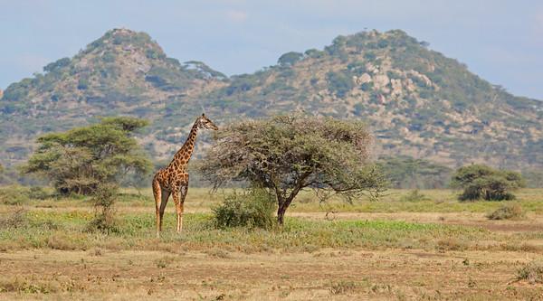 giraffe landscape in Ndutu, Ngorongoro Conservation Area, Tanzania