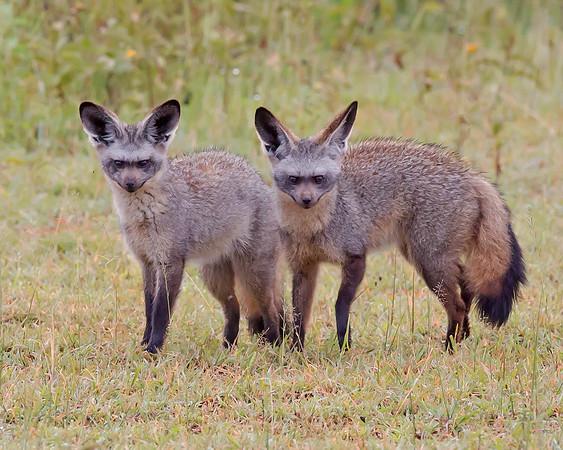 bat-eared foxes in Ndutu, Ngorongoro Conservation Area, Tanzania