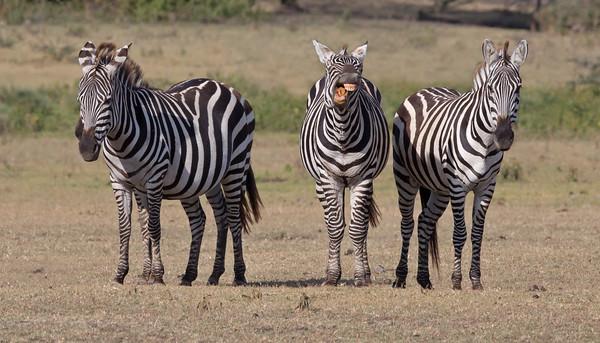 zebra chuckling with friends in Ndutu, Ngorongoro Conservation Area, Tanzania