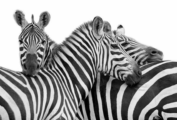 zebras in Ndutu, Ngorongoro Conservation Area, Tanzania