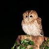 Tawny Owl (Nov 2013)