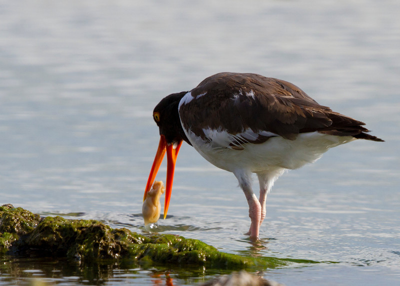 American Oystercatcher eating an oyster.  Taken with Canon 7D and Canon 500mm F4 IS II out the car window.
