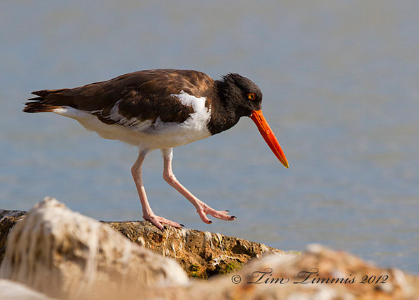American Oystercatcher.  Taken with Canon 7D and Canon 500mm F4 IS II out the car window.