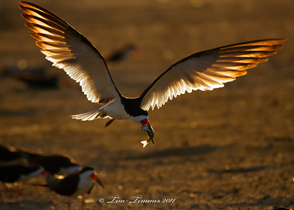 Black Skimmer with fish for youngster
