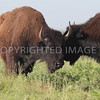 Bison herd at Texas Parks and Wildlife's Caprock Canyon State Park, June 2015.  These are southern plains bison, descendants of the herd established by Charles Goodnight and his wife.  Took these from our automobile when the herd was next to the visitor tour road.