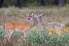 deer smugmug-2