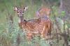 deer smugmug