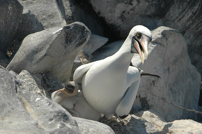 Masked Booby and fledgling