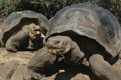 The Galapagos aka Giant Tortoises These are about 100-200 years old.