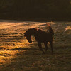 The crisp Fall weather makes this old horse want to dance as the sun sets in his beautiful field.
