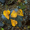 There they sit.  It was a damp, rainy fall afternoon and sitting be the side of a country stream are four yellow leaves stuck to a wet rock.