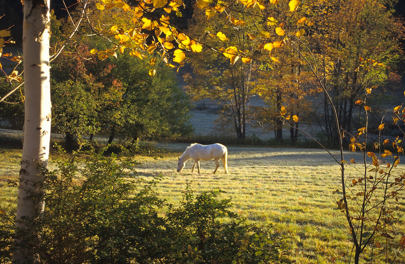 A very nice image.  A beautiful setting, the fall field and white horse casually grazing.  The early yellow rays of the downward sun enhances the entire image.