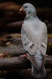 Stock Dove - Back View