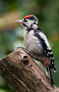 Woodpecker #4