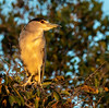 Black-Crowned Night Heron at Sunset