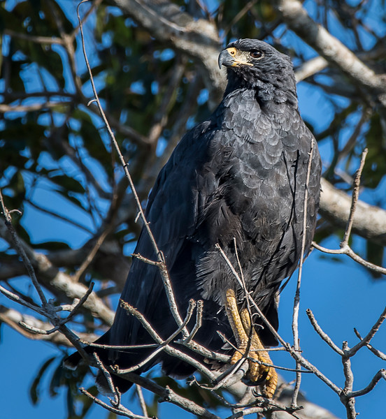 Giant Black Hawk
