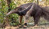 Giant Anteater -  A Rare Daylight Sighting