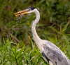 Cocoi Heron with Armored Catfish