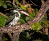 Green Kingfisher with Fish