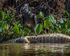 Black Vulture Lays Claim to a Dead Caiman - King of the Hill!!!!
