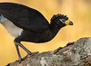 Curassow (Male)