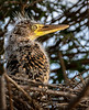 Tiger Heron Chick in Nest
