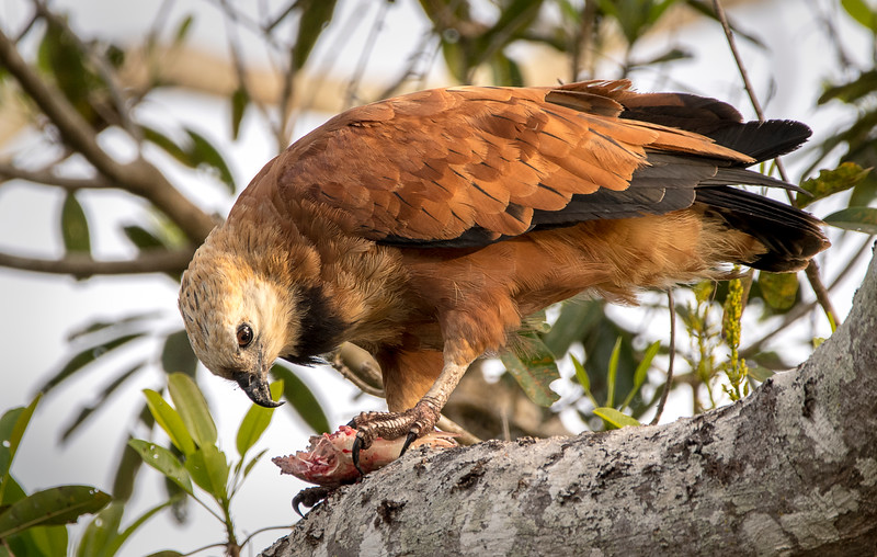 Black-Collared Hawk with Fish
