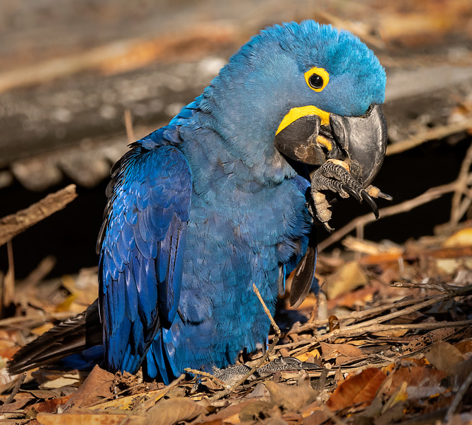 Hyacinth Macaw Working on Manicure