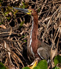 Rufous Tiger Heron