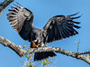 Snail Kite with Apple Snail