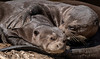Giant Otters - Pillow Talk!