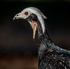 Blue-Throated Piping Guan