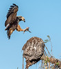 Black-Collared Hawk with Fish Preparing to Land on a Termite Mound