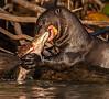 Giant Otter Eating Peacock Bass
