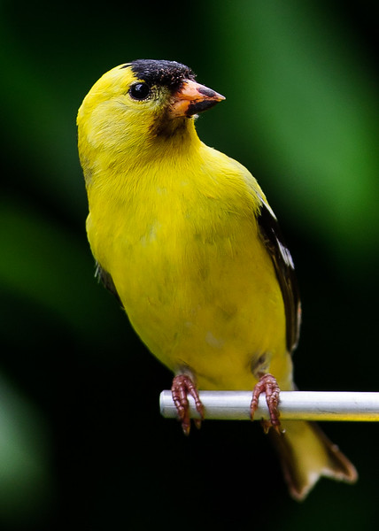 American Goldfinch ( Spinus tristis  ) Photo