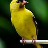 American Goldfinch ( Spinus tristis  ) Photo