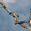 Male American Kestrel ( Falco sparverius )-photo