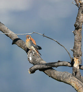Male American Kestrel ( Falco sparverius )-photo