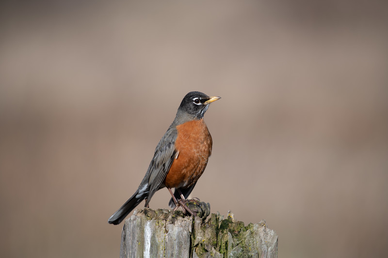 The American robin(Turdus migratorius) is a migratory songbird of the true thrush genus and Turdidae, the wider thrush family