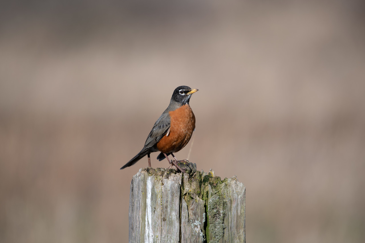 The American robin(Turdus migratorius) is a migratory songbird of the true thrush genus and Turdidae, the wider thrush family